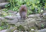 Marsh Mongoose in the African Bush of the Curraghs Wildlife Park