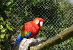 Scarlet Macaw in the Amazon Rainforst at the Curraghs Wildlife Park
