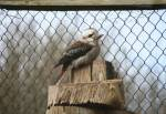 Kookaburra in the Australian Outback at the Curraghs Wildlife Park