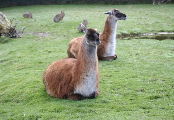 Isle Of Man Guide Guanaco In The South American Pampas